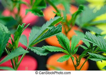 bébé, plants., marijuana