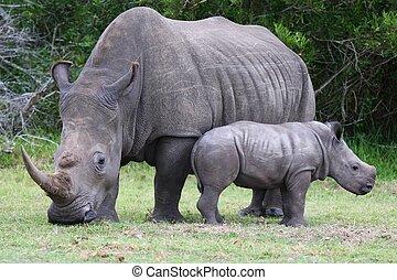 bébé, rhinocéros, et, maman