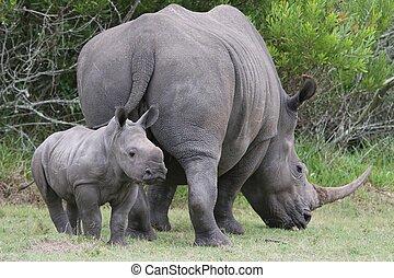 bébé, rhinocéros, maman
