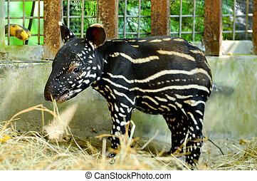 bébé, tapir malais