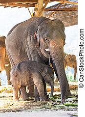 bébé, thaï, éléphant, mère
