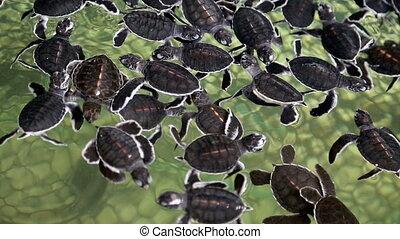 bébé, tortues mer
