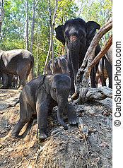 bébé, troupeau, asie,  Éléphant