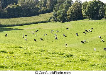 bélgica, vacas, colinas, pastar