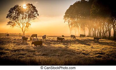 bétail, matin
