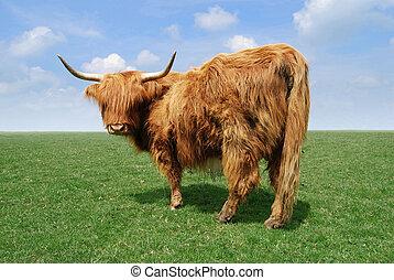 bétail montagne