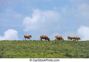 bétail, troupeau