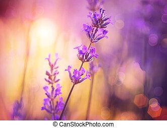 bíbor, elvont, összpontosít, flowers., virágos, lágy, design...
