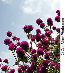 bíbor virág
