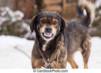 böser , hund, aggressiv