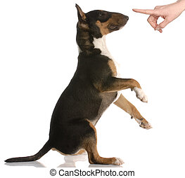 böses , hund, -, stier terrier, -, neun, monate, altes , -, weiß, hintergrund