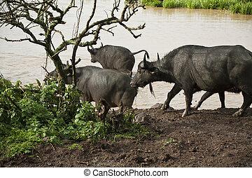 búfalo africano, safari, em, kenya