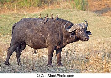 búfalo, africano, toro
