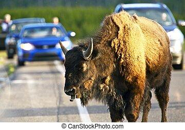búfalo, camino