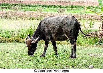 búfalo, comer, grama verde, ligado, campo