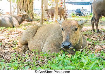 búfalo, ligado, capim