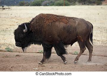 búfalo, pastar