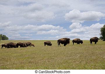 búfalo, pasto, manada
