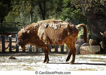 búfalo, piel, cambiar