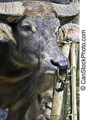 búfalo, rosto