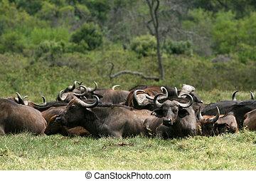 búfalo, tanzania, -, áfrica