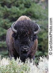 búfalo, yellowstone