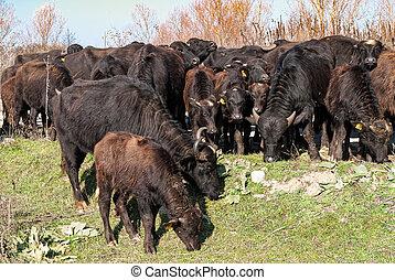 búfalos, em, grécia
