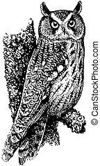 búho largo -eared, pájaro