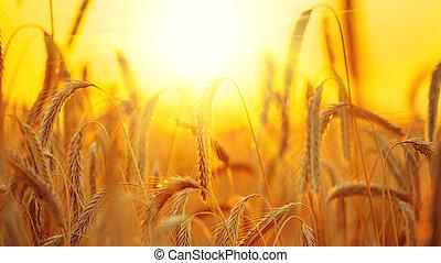 búza, field., fülek, közül, arany-, búza, closeup., betakarít, fogalom