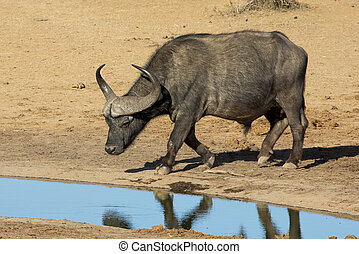 büffel, stier, mit, groß, hörner, an, waterhole
