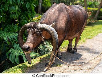 büffel, tag sonnig, haustier