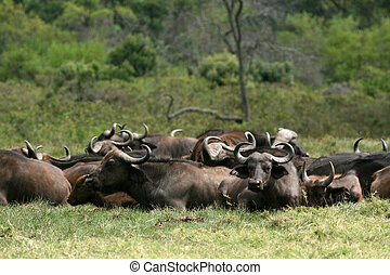 büffel, tansania, -, afrikas