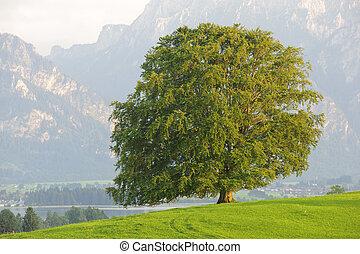 bükkfa, egyedülálló, fa