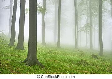 bükkfa, erdő