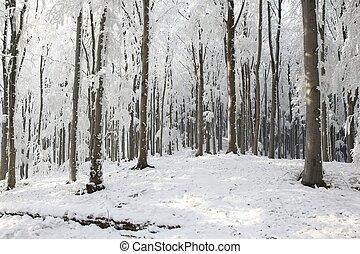 bükkfa, tél, erdő