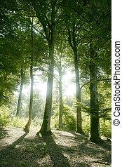 bükkfa, zöld, erdő, varázslatos, erdő