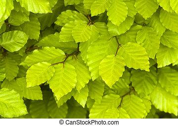 bükkfa, zöld