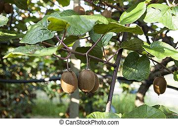 büsche, agritourism, kiwi, italien, fruits., reif, groß