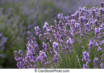 büsche, closeup, lavendel