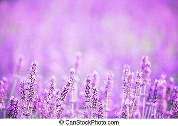 büsche, closeup, lavendel, sunset.
