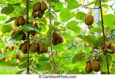 büsche, kiwi, italien, reif, groß, agritourism, fruits.