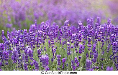 büsche, kleingarten, feld, effect., licht, lavendel, franzoesisch, hintergrund., blumen, weich, closeup