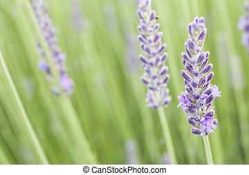 büsche, lavendel, closeup.