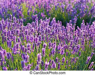 büsche, lila, schein, aus, lavendel, lavender., closeup, sonnenuntergang, blumen, sunset.