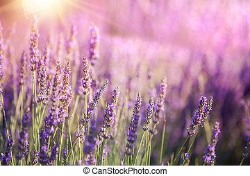 büsche, lila, schein, gebiet, provence, blumen, closeup, frankreich, sonnenuntergang, lavender., lavendel, aus, sunset.