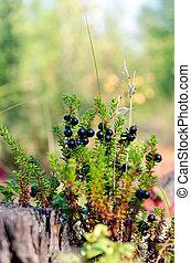 büsche, nordisch, beeren, yakutia, blüte, forest., taiga,...