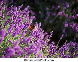 büsche, papillon, lila, schein, aus, lavendel, lavender., closeup, sonnenuntergang, blumen, sunset.