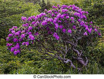 bütykös, rododendron, bokor, befedett, alatt, nyílik