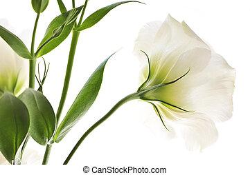 běloba květovat, osamocený