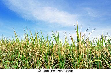 błękitne niebo, trawa, ryż, zielone pole